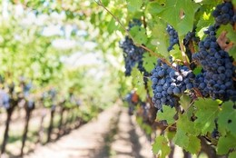 Nebbiolo beyond Italy - Ask Decanter