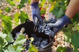 Jumilla: Grapes and flavours