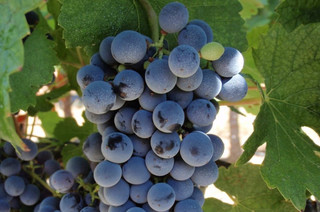 Meet the 'new' Bordeaux wine grapes - Ask Decanter