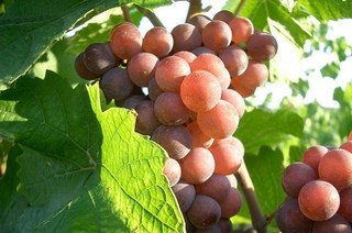 Pink Pinot Grigio: Is this the most authentic version? - Ask Decanter