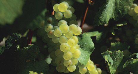Sauvignon Blanc, white grape, wine grape, Bordeaux