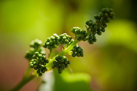 Image: young grapes © Decanter