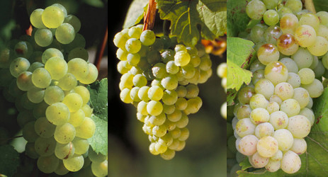 Image (from left to right): Sauvignon Blanc, Riesling and Chenin Blanc