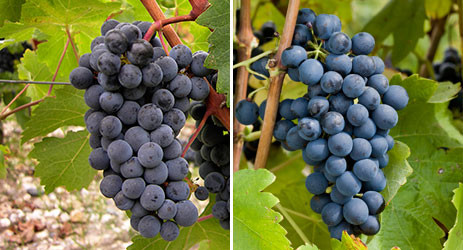 Image: Cabernet Sauvignon (left) © CIVB and Syrah (right) © Inter Rhône / Christophe Grilhé