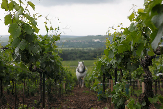 Louis Roederer vineyards and horses, Champagne © Decanter