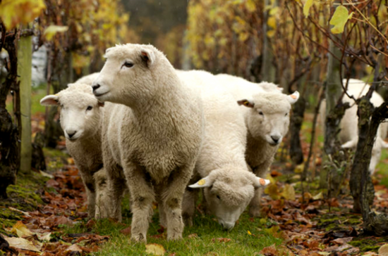 Nyetimber sheep
