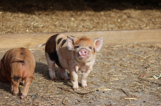 Kunekune pigs at Yealands