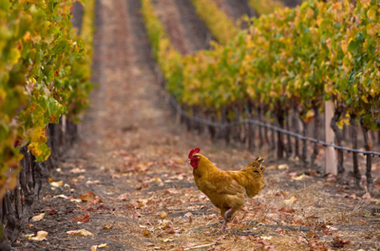 Chickens at Californian vineyards