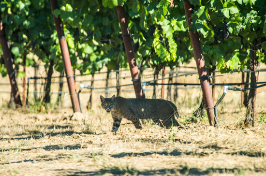 Image: bobcat at Navarro Vineyards