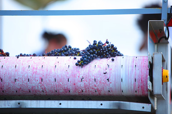 Image: Merlot grape being sorted at Pomerol Vieux Chateau Certan, credit: Clay M