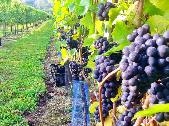 Image: Hattingley Valley Hampshire grapes vineyard, United Kingdom, credit Decanter