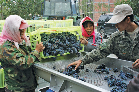 Image: Ningxia farmers sorting grapes. Credit: Li Demei