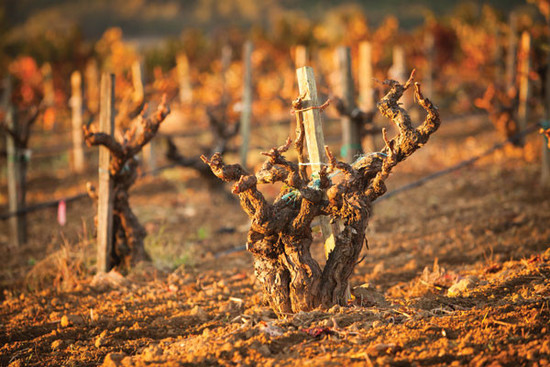 Image: Vines in Sonoma, credit Decanter
