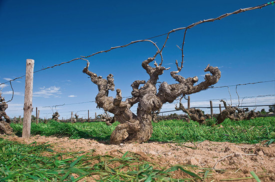 Image: Old vines from Barossa, credit: Glaetzer Evenezer