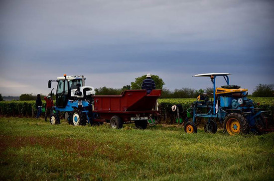 Image: Harvesters in Gevrey-Chambertin race to pick before the early October rain. Credit: Gretchen Greer.