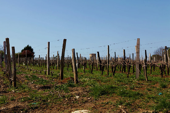 Image: Tertre Roteboeud vineyard (left two rows) compared to usual Bordeaux vineyard (right), credit Li Demei