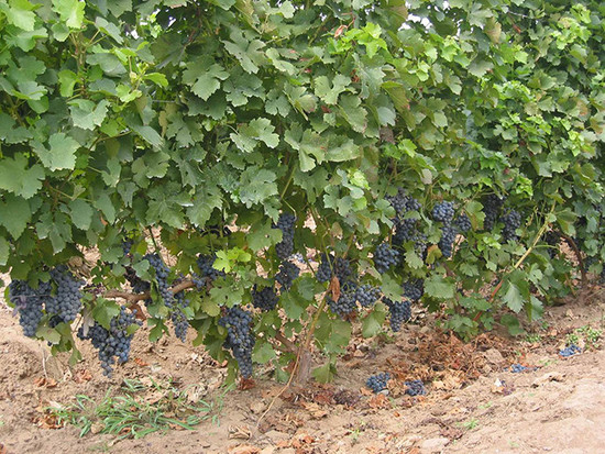 Image: Marselan grapes