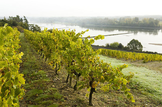Image: Loire Valley vineyards