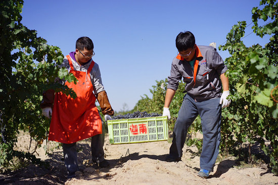 Image: Harvest in Kanaan Winery
