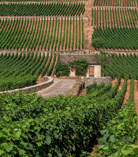 Typical of the Beaune, the Grèves vineyard runs in a band down the slope, which results in variations in style and quality from high to low