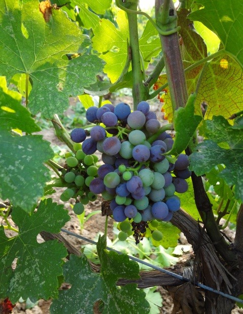 Image: Veraison of Marselan at Grace Vineyard. Credit: Grace Vineyard
