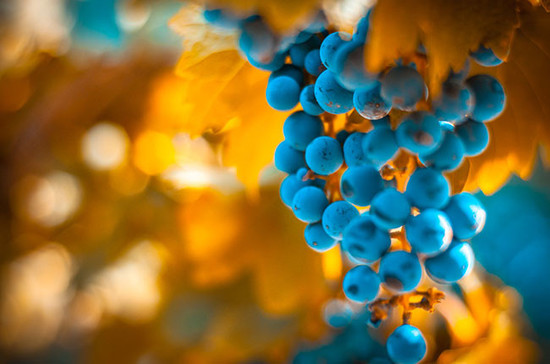 Know your wine grapes... Credit: Credit: Alamy / Konstantin Kalishko