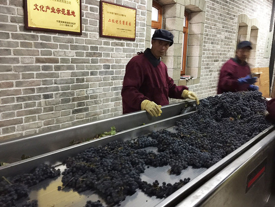 Image: 2017 harvest at Zhihui Yuanshi Chateau, Ningxia, China