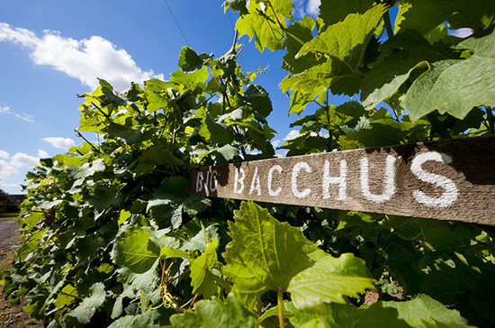英国肯特郡(Kent),Chapel Down酒庄的巴克斯(Bacchus)葡萄藤。 © Stuart Black / Alamy