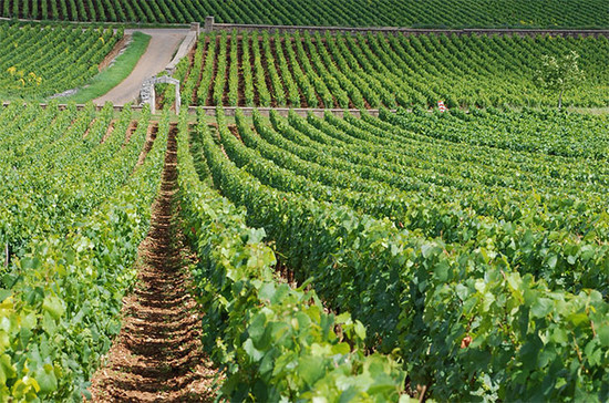 Montrachet vineyards in Burgundy. The Bourguignons have been at the forefront of helping Burgundy winemakers, and others around the world, to understand the soil. Credit: Flickr / Jon Cave / Wikipedia