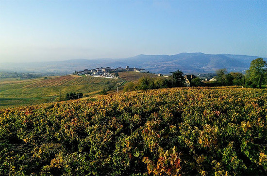Beaujolais vineyards in Brouilly. Credit: Andrew Jefford