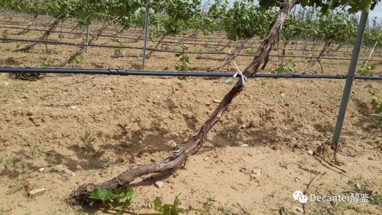 Image: The special pruning system that's beneficial for burying vines. Credit: LI Demei
