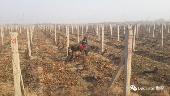 Image: Growers are hand-burying the vines. Increasingly the labour-intensive process is done by machines. Credit: LI Demei