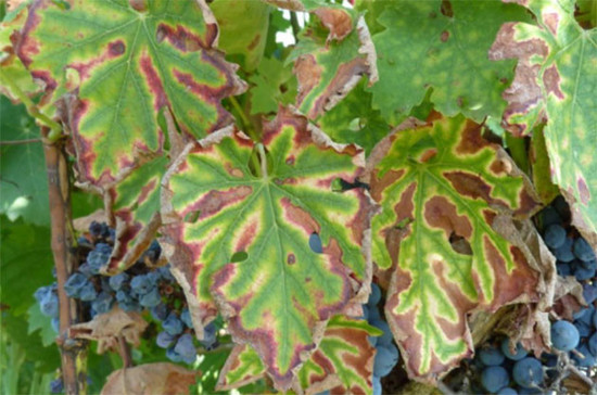 Concerns are growing over grapevine trunk diseases.	Credit: OIV, winetwork-data.eu