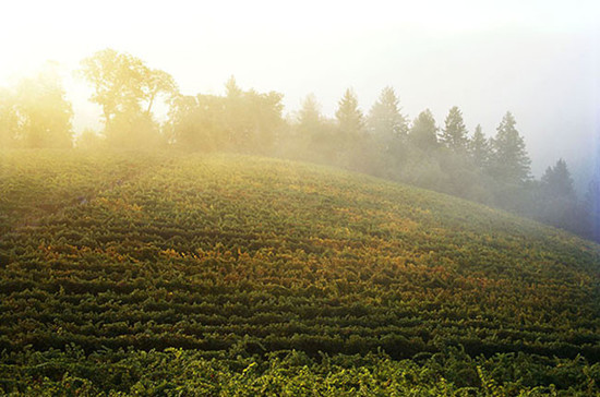 Morning fog rolls across Darioush's Mount Veeder estate vineyard perched at nearly 2000-feet above sea level in Napa Valley. San Pablo Bay's cooling, maritime influence is felt here. Credit: Frederic Lagrange.