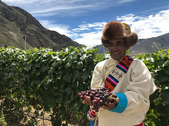 Grapes from the 'world's highest vineyard' in Tibet.