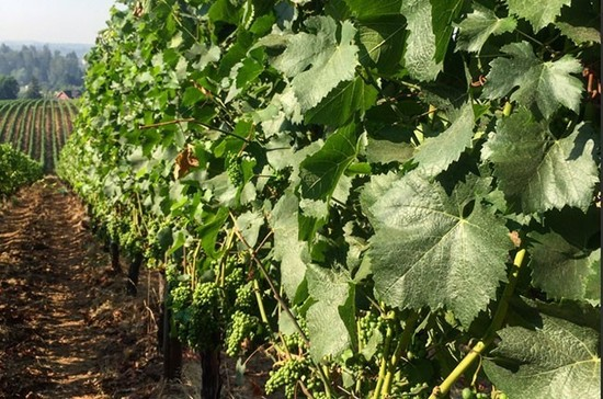 Sokol Blosser Winery vines in the 40 degree heat. Credit: Sokol Blosser Winery Twitter