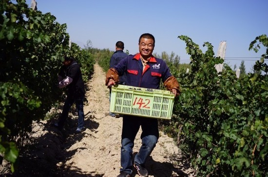 Red grape harvest at Kanaan Winery, Ningxia, China, Regional Trophy winner of 2015 DAWA. Credit: Kanaan Winery