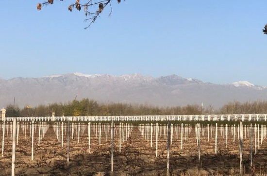 Image: Vines waiting to be buried at Chateau Changyu Moser XV, with Helan Mountain as the backdrop.