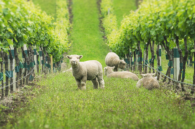 Gallery: vineyard animals – unlikely helpers