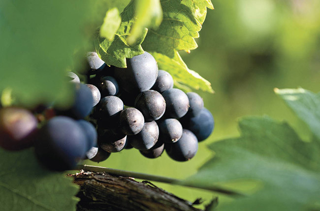 WSET Level 2: Pinot Noir grape – climatic, winery influence, most important regions