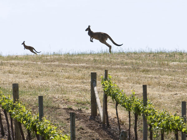 Australia: The kung fu wine