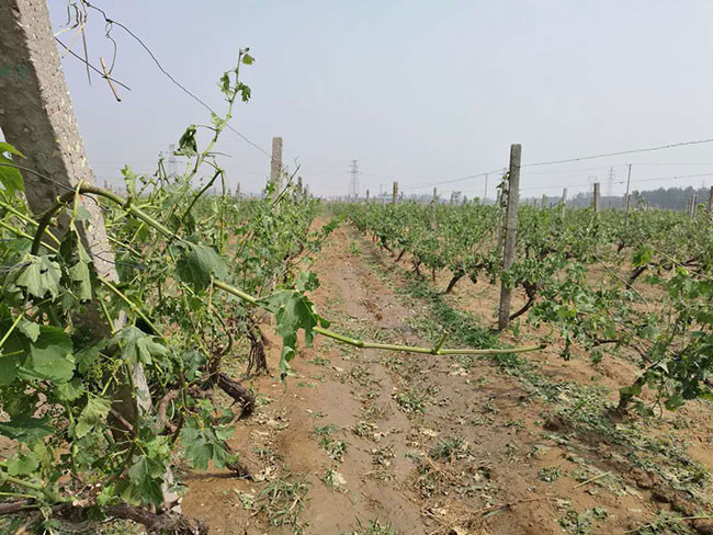 Picture report: Severe hailstorm hits wine regions in Northeast China