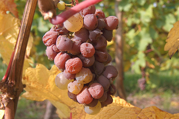 WSET Level 2: Riesling grape – climatic, winery influence, most important regions