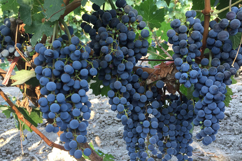 Exclusive: 2016 Chinese wine region harvest report (Part I)
