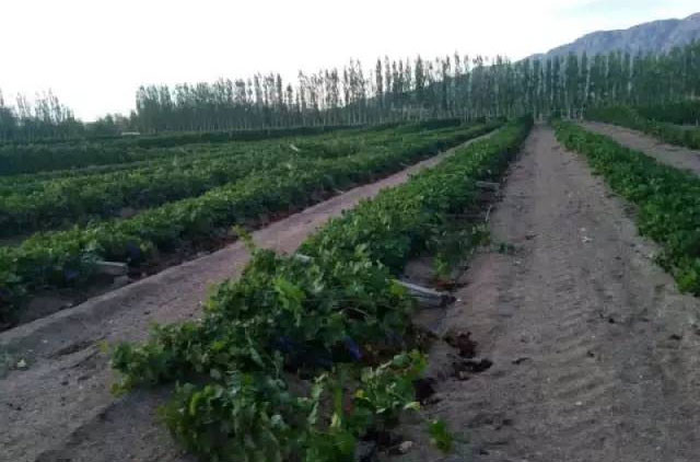 Tornado crashes into Chinese vineyards