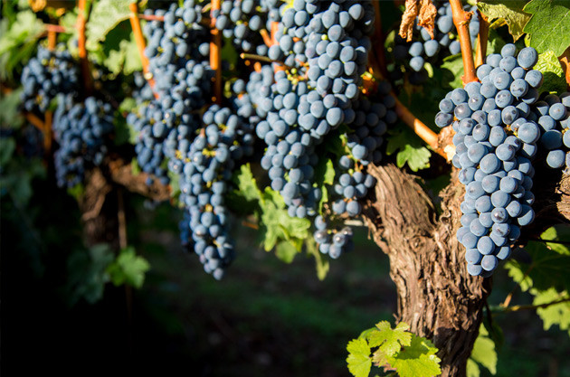 The Merlot Wine Quiz – test your knowledge