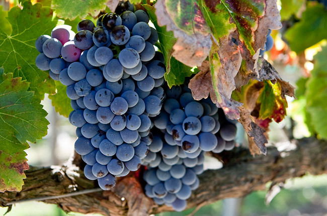 The Grenache Quiz – test your knowledge