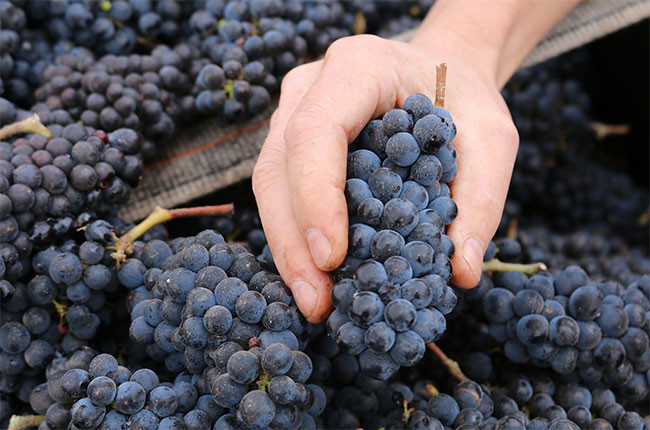 'What grape am I?' quiz – test your knowledge