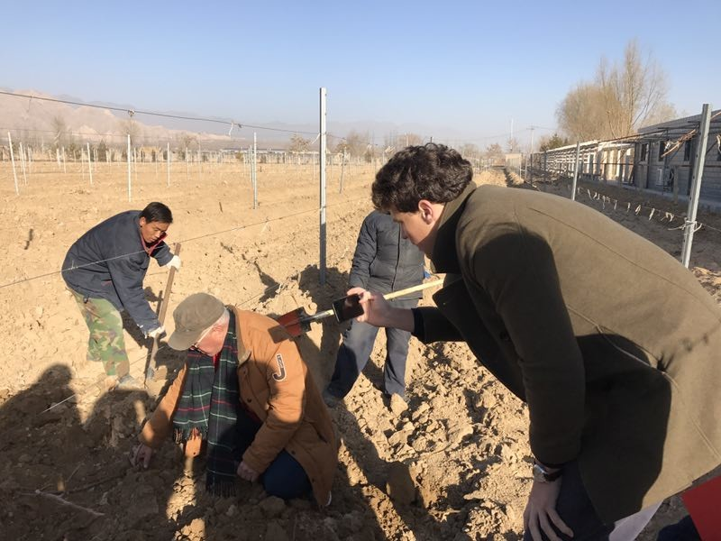 Image: Mr Wang of Helan Qingxue Vineyards showing Decanter how vines are burried.