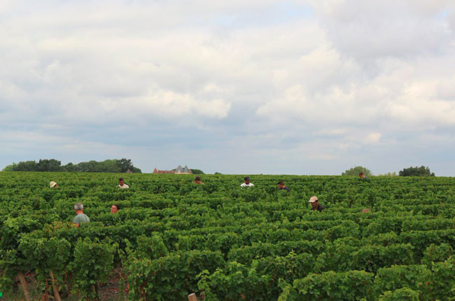 Bordeaux 2016 harvest report – how the vintage looks